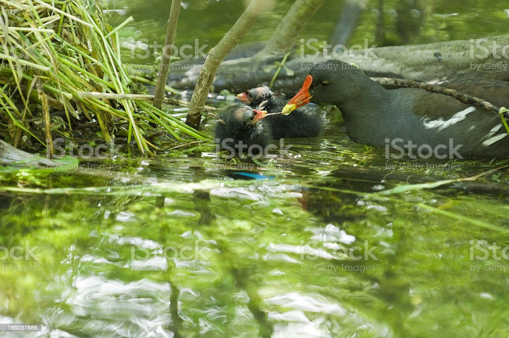 common moorhen [ Gallinula chloropus ] stock photo