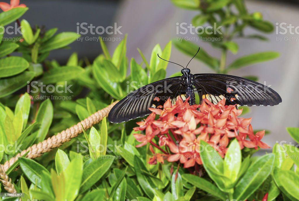 Common mormon butterfy royalty-free stock photo
