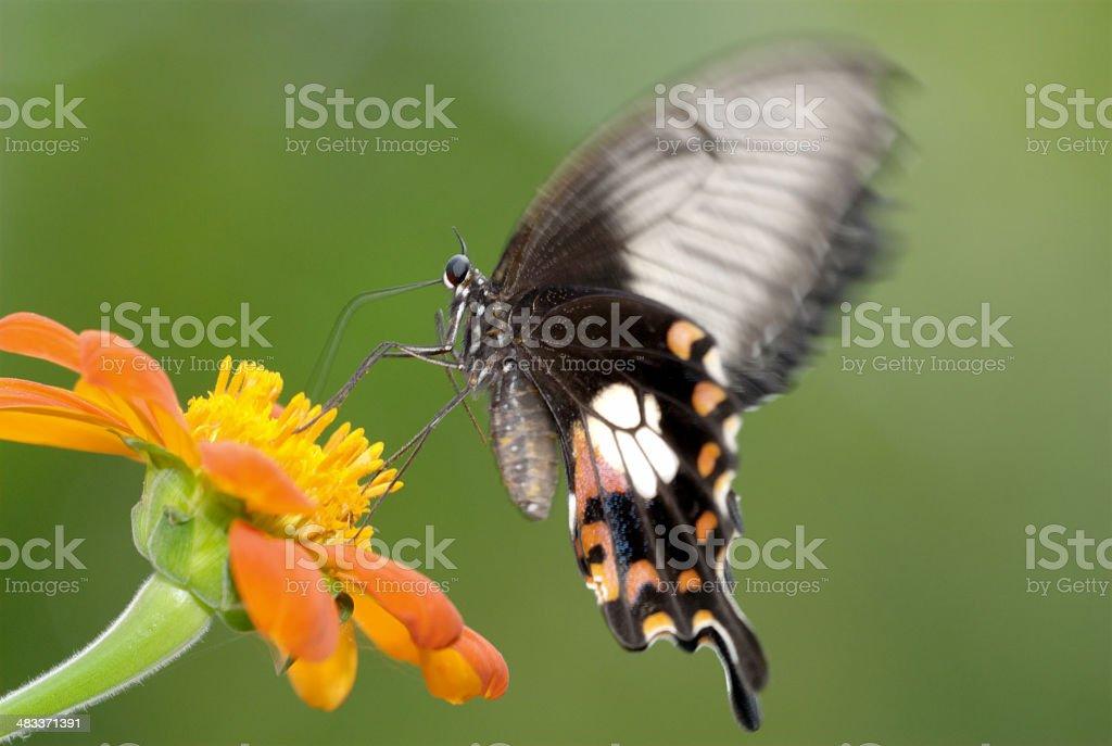 Common Mormon (Papilio polytes) of Bangkok, Thailand stock photo