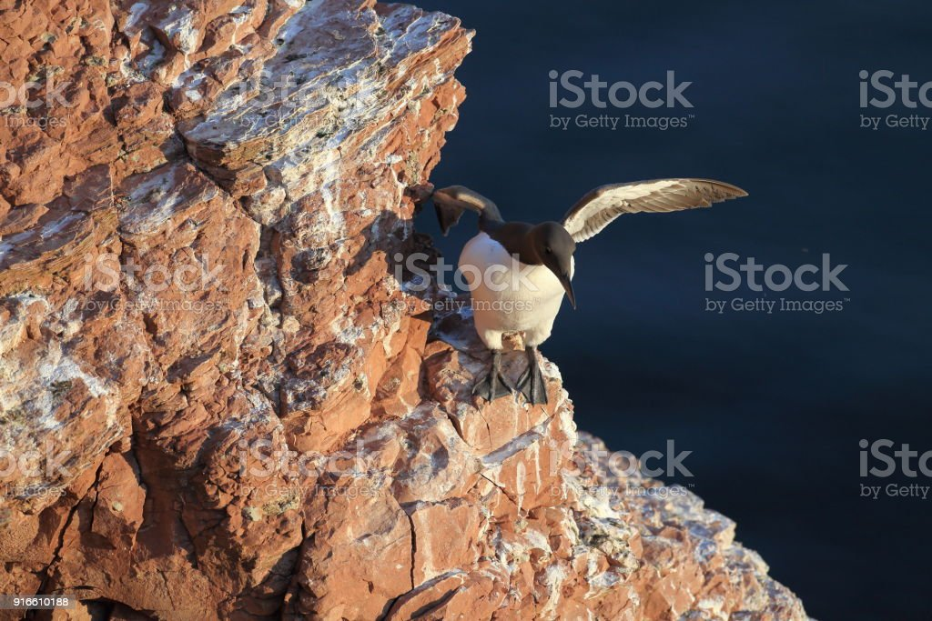 Common murre or common guillemot (Uria aalge) on the island of Heligoland, Germany stock photo