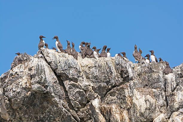 murres comune su una scogliera rocciosa - uccello marino foto e immagini stock