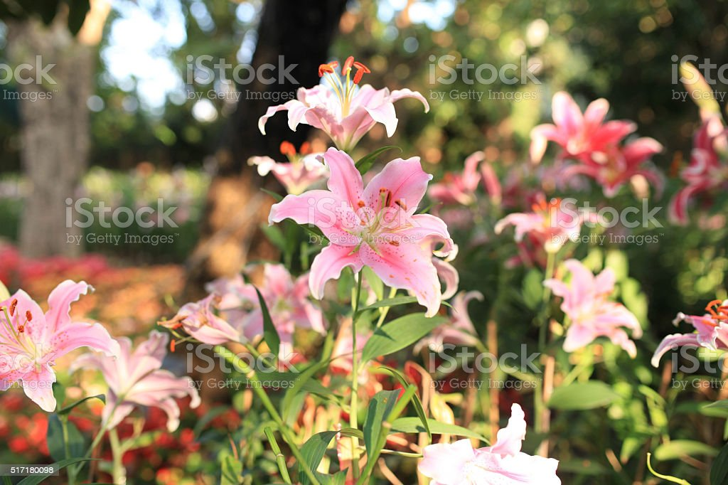 Common names for species in this genus include fairy lily stock photo