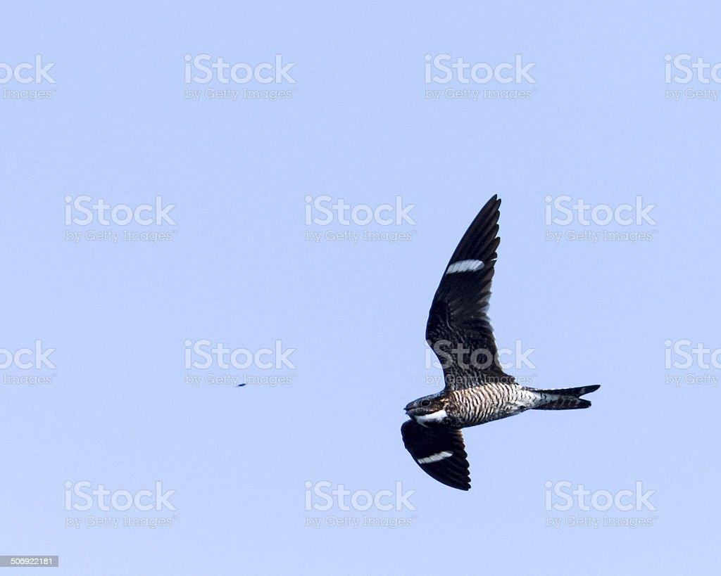 Common Nighthawk Flying Toward Dinner stock photo