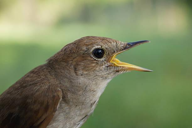 Common Nightingale, Luscinia megarhynchos - Photo
