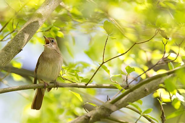 Nightingale commune niché dans un arbre chanter à tue-tête. - Photo