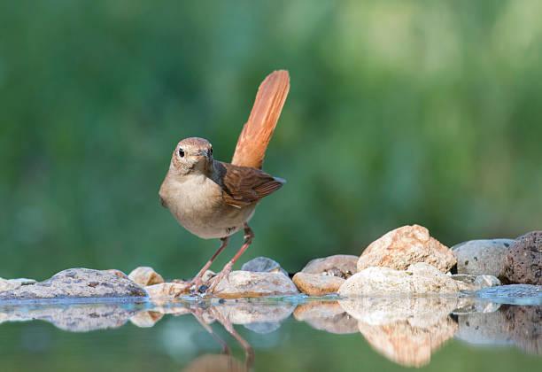 Common Nightingale (Luscinia megarhynchos) - Photo