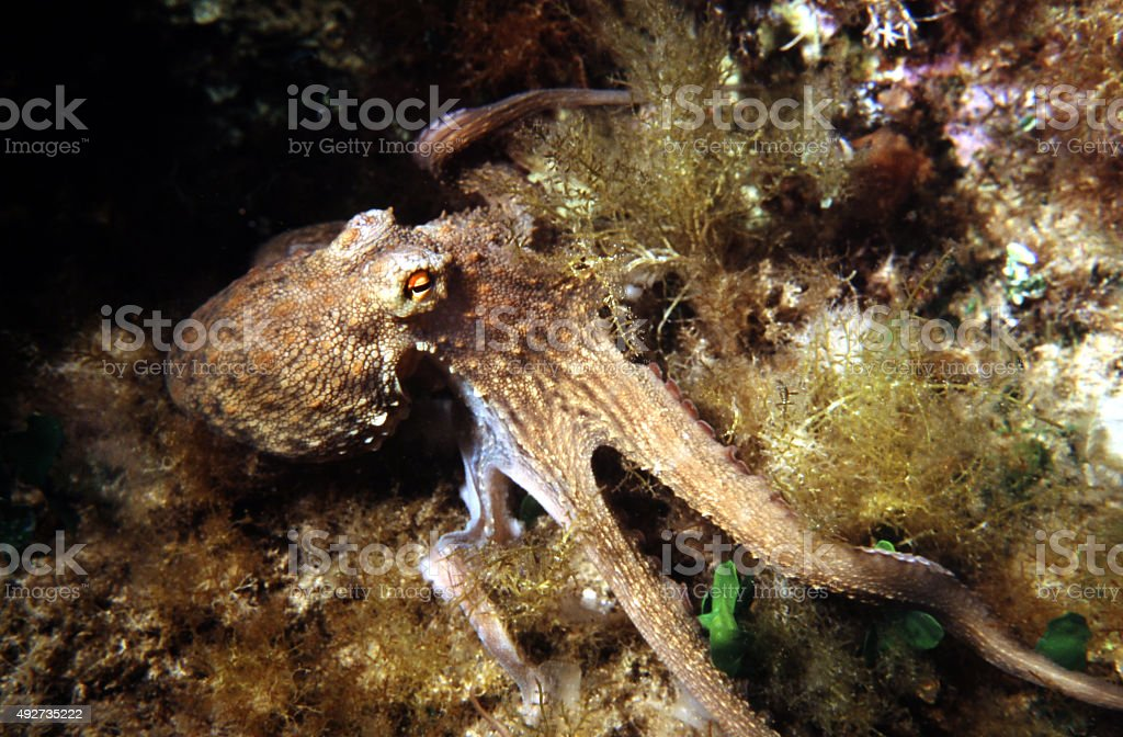 Common Octopus in the Mediterranean Sea. Octopus Vulgaris. stock photo