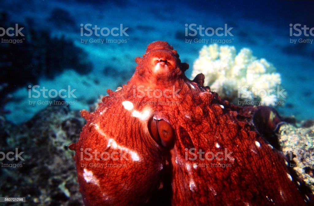 Common Octopus in the Red Sea. Octopus Vulgaris. stock photo