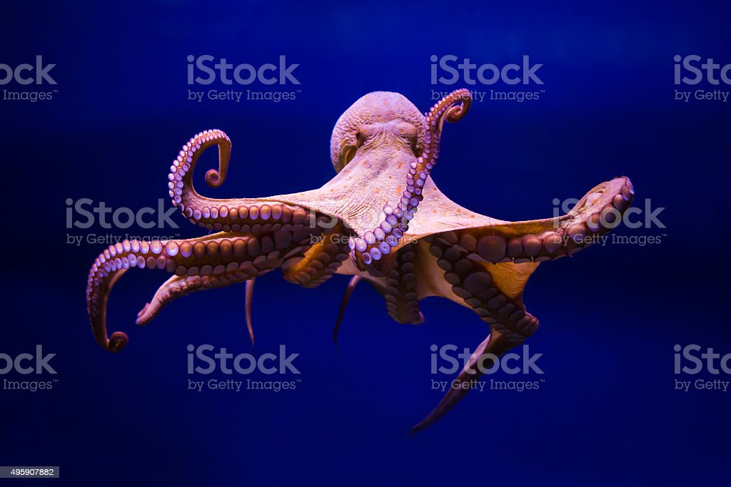 Polpo comune (Octopus vulgaris) stock photo