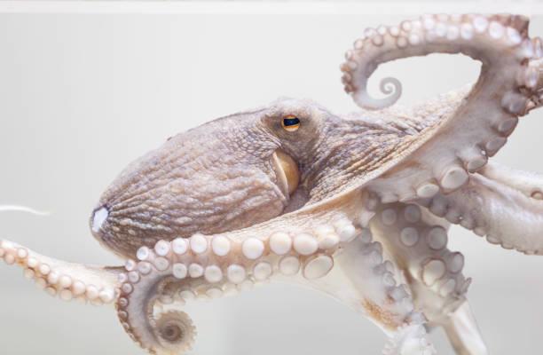Common octopus stock photo