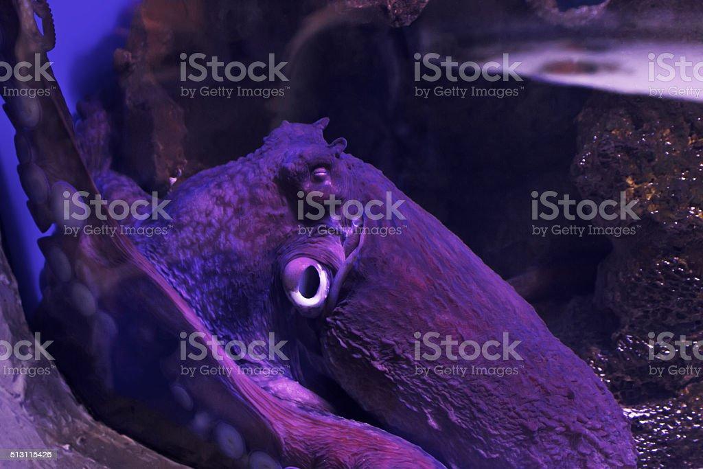 Common octopus. Wildlife animal stock photo