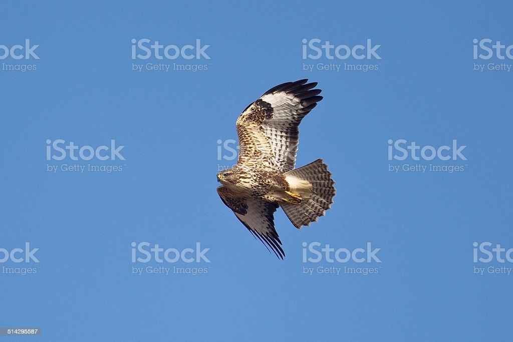 Common or Eurasian Buzzard in flight foto