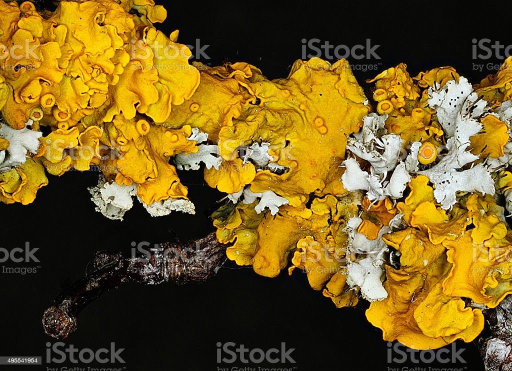 Common Orange Lichen (Xanthoria parietina) stock photo