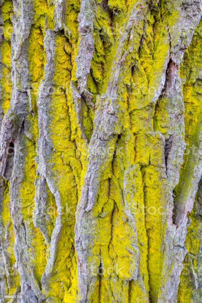 Common orange lichen stock photo