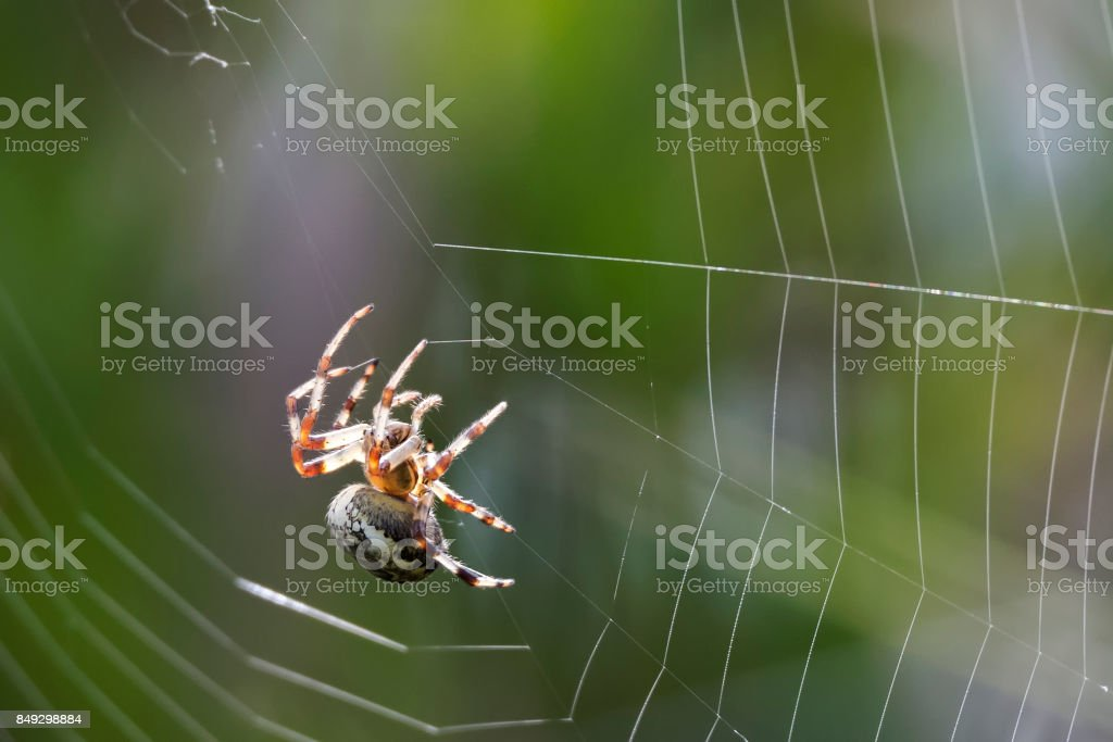 Common Orb Spider spinning its web stock photo