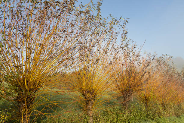 gemeine osier- oder korbweidenbäume (salix salix viminalis) in der nähe der weinstraße in spielfeld - frisuren mit kurzen zöpfen stock-fotos und bilder