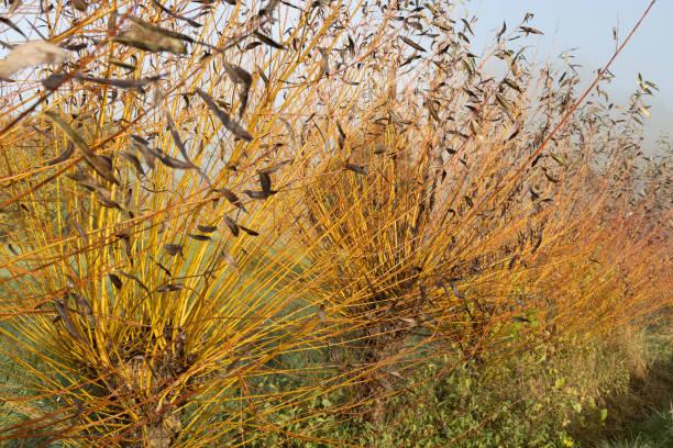 häufig osier oder korb weidenbäume (salix salix viminalis) bereit zum schneiden - frisuren mit kurzen zöpfen stock-fotos und bilder