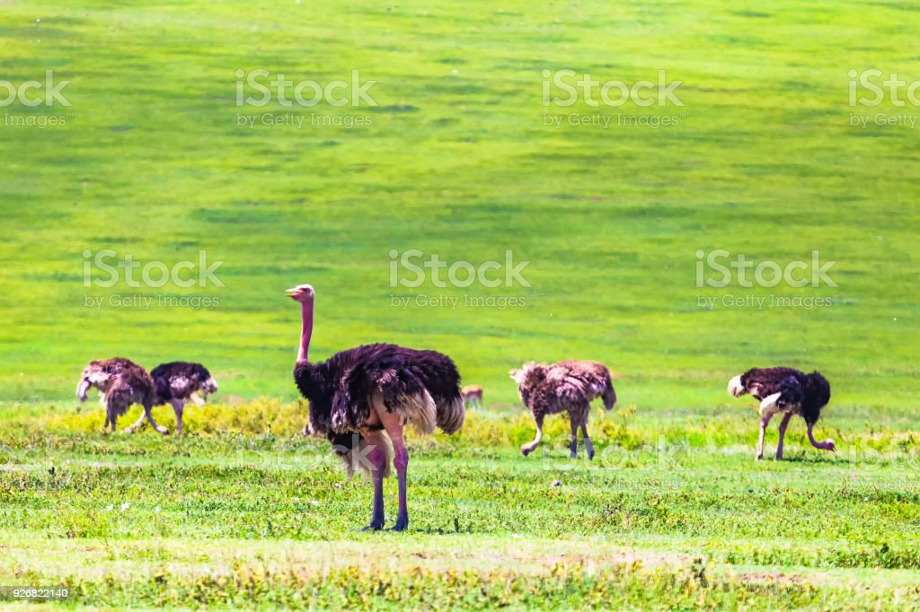 Common ostrich. Ngorongoro Crater Conservation Area. Tanzania. stock photo