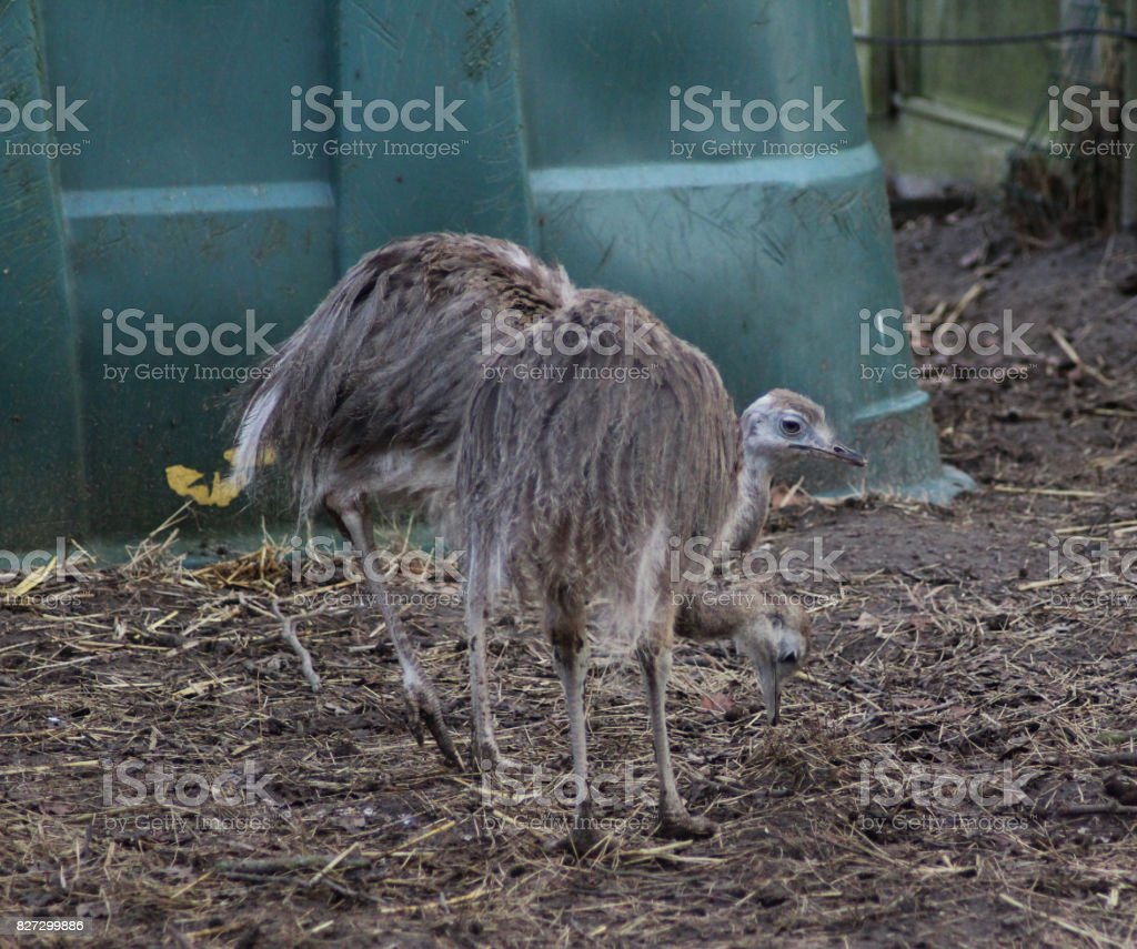 common ostrich (Struthio camelus) stock photo