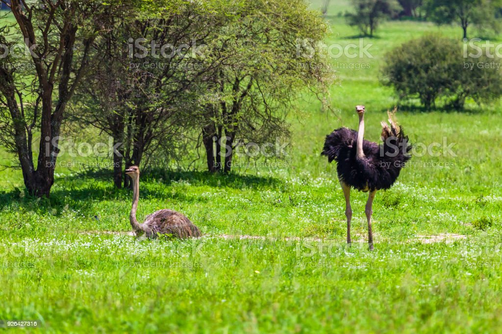 Common ostrich. Tarangire National Park. Tanzania. stock photo