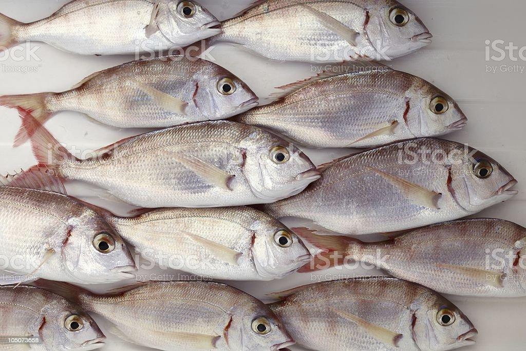 common pandora fish pagellus erythrinus stock photo