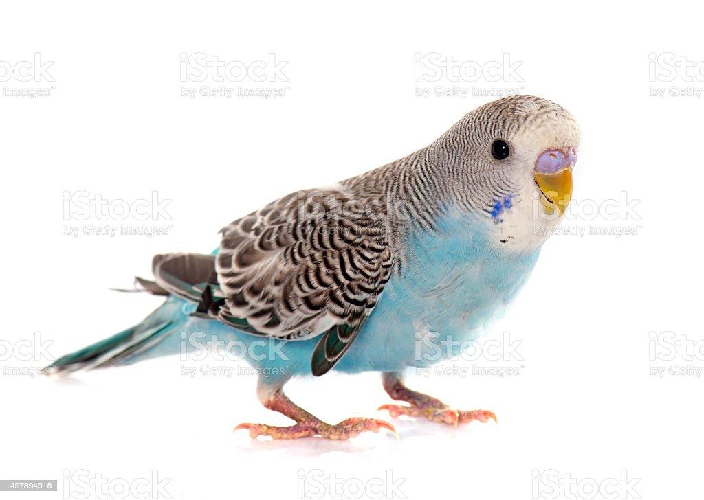 common pet parakeet stock photo