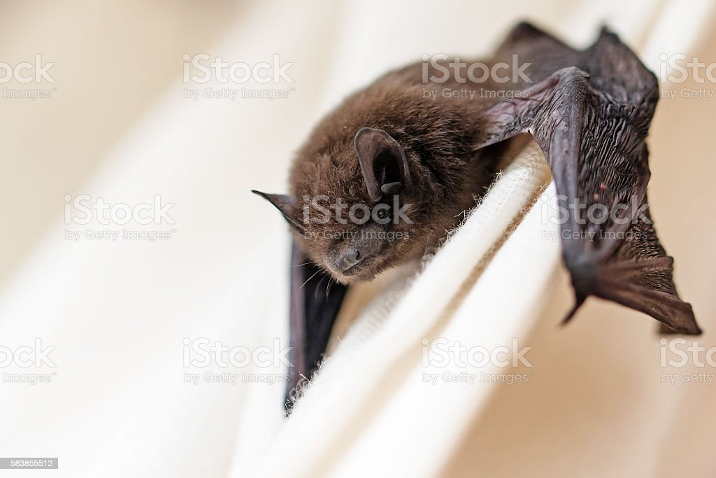 common pipistrelle (Pipistrellus pipistrellus) a small bat stock photo