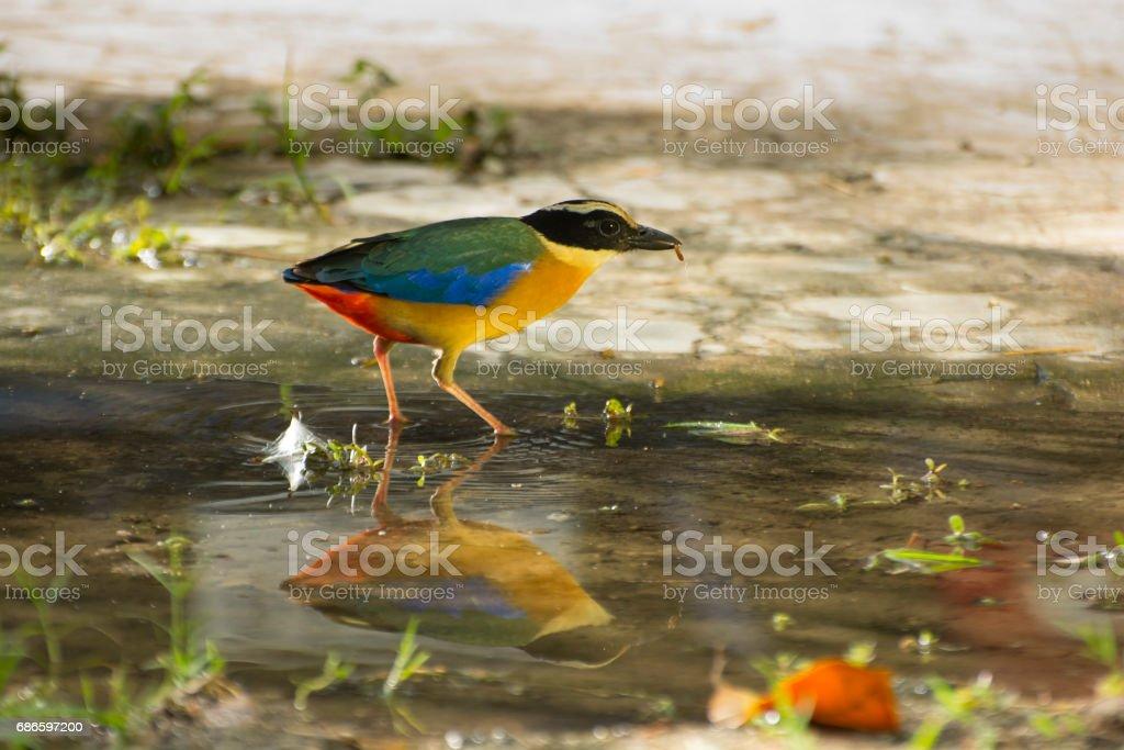 Common Pitta Bird. royalty-free stock photo