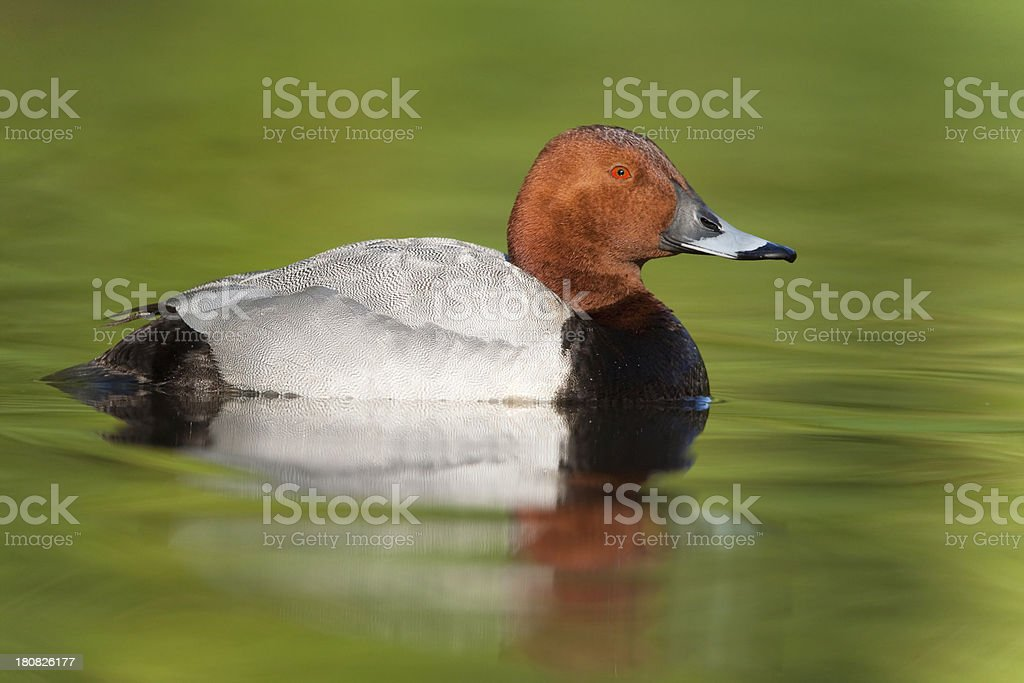 Common Pochard Duck royalty-free stock photo