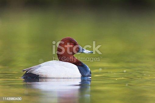 Common pochard