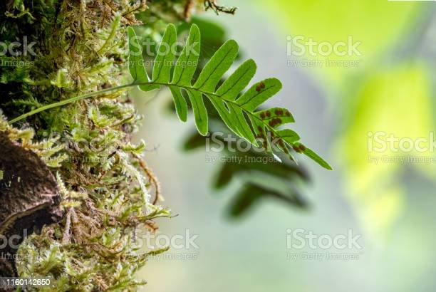 Photo of Common polypody fern Polypodium vulgare grows among thick moss.