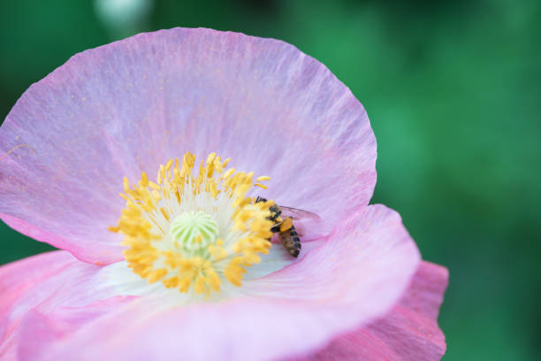 Common poppy blooming in the garden in sunny day stock photo