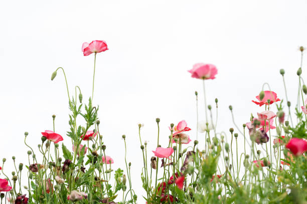 Common poppy blooming in the garden with white background stock photo