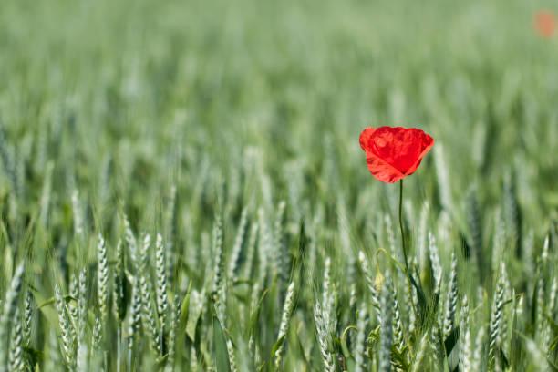 Gemeinsamen Mohnblume - Papaver Rhoeas - in einem Getreide-Feld – Foto