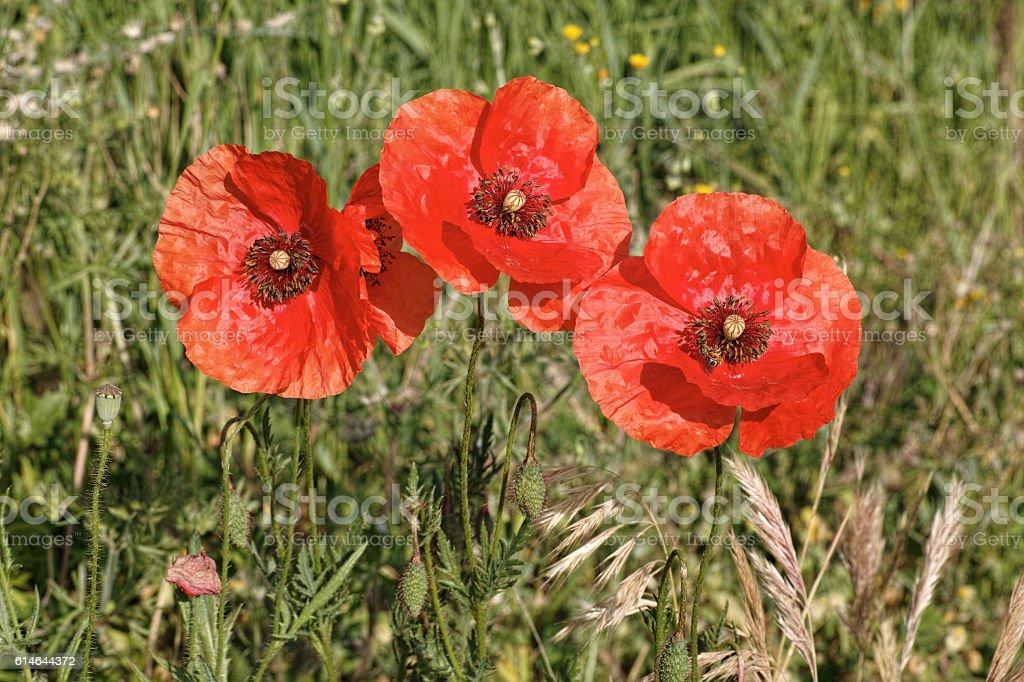 common poppy stock photo