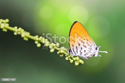 Close up of Common Posy (Drupadia ravindra) butterfly feeding in nature