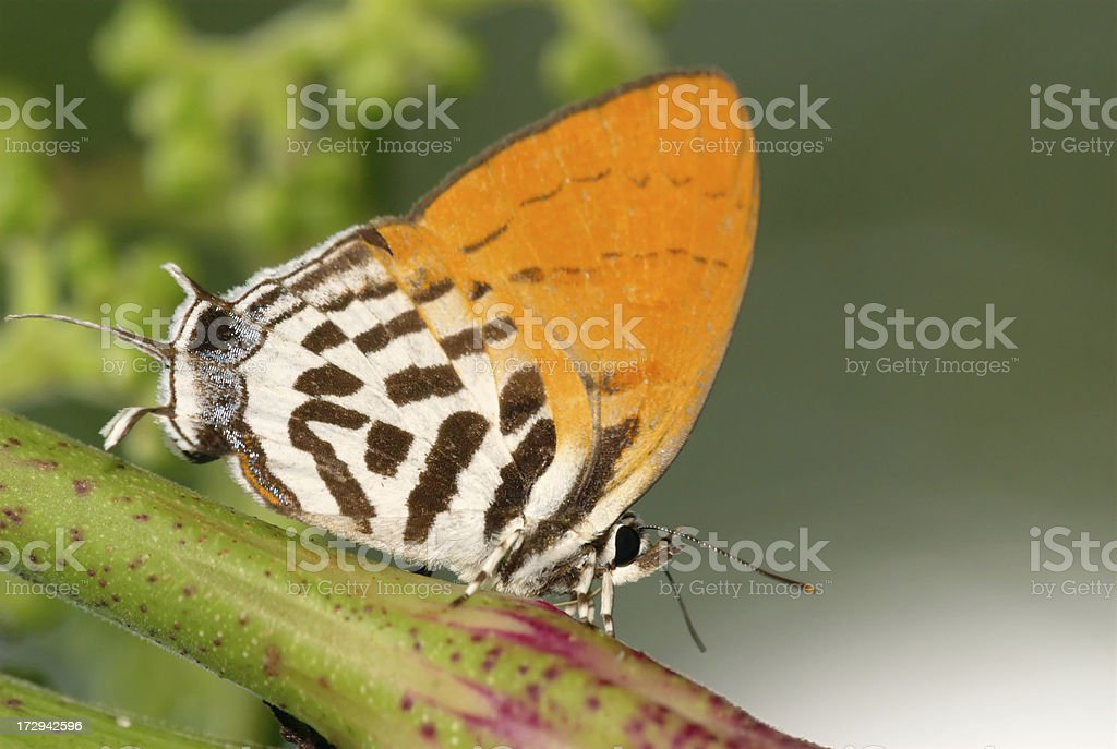 Common Posy (Drupadia ravindra) in Singapore stock photo