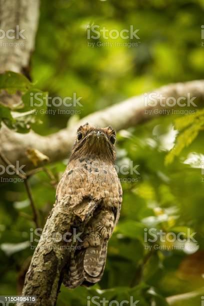 Common potoo nyctibius griseus on dead branch in tree trinidad picture id1150498415?b=1&k=6&m=1150498415&s=612x612&h=bccyfdmgacik tiaehdbwwod21eqn a 2w3ei5 dyo0=