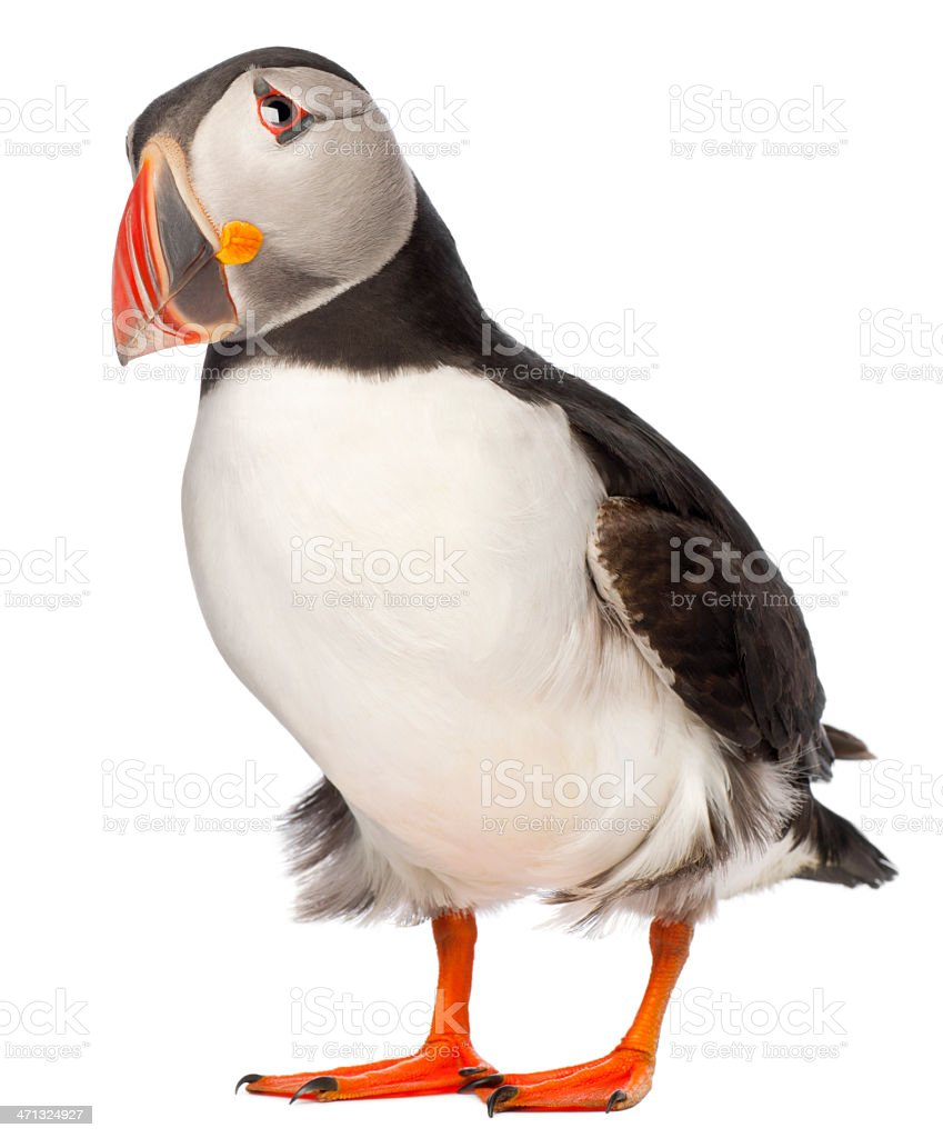 Common Puffin, Fratercula arctica, standing, white background. stock photo