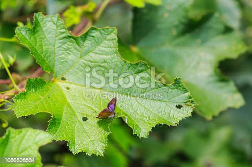 Common purple sapphire (Heliophorus epicles) butterfly on green leaf in nature