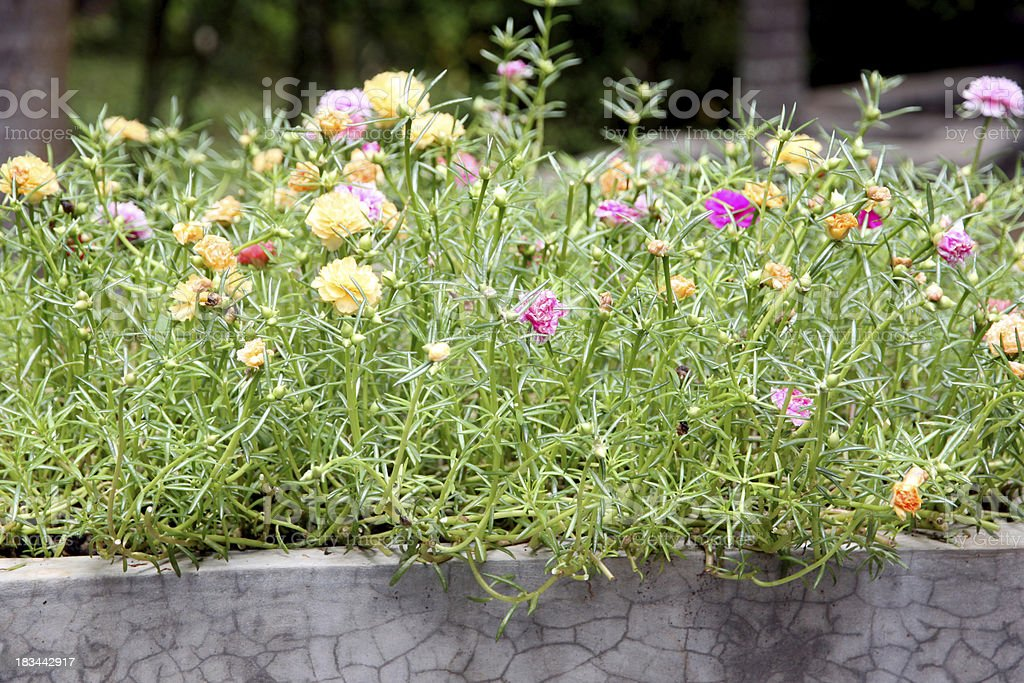 Common purslane flowers in the garden. royalty-free stock photo