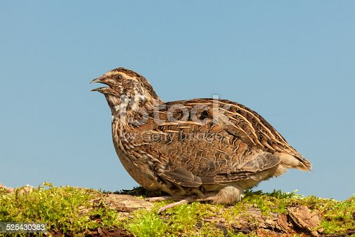 Common Quail (Coturnix coturnix) Rooster In The Wild.