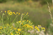 Common Ragwort (Senecio jacobaea) provides a nectar for many species of bees, flies, moths and butterflies, some species are totally dependant upon it as a food source, making it a vital part of our natural native flora. Focus on foreground.