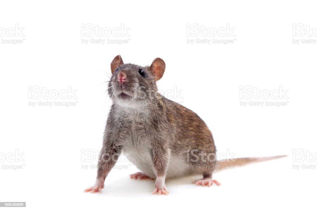 Common Rat on white stock photo