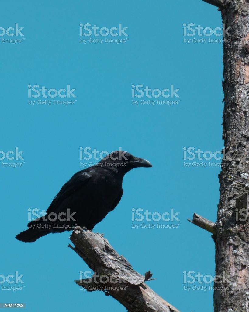 Common Raven / Corvus Corax stock photo