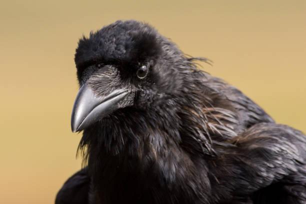 Kolkrabe - Corvus Corax sitzt auf einem Zaun – Foto