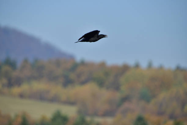 Common Raven flies over  the carcass on the meadow stock photo