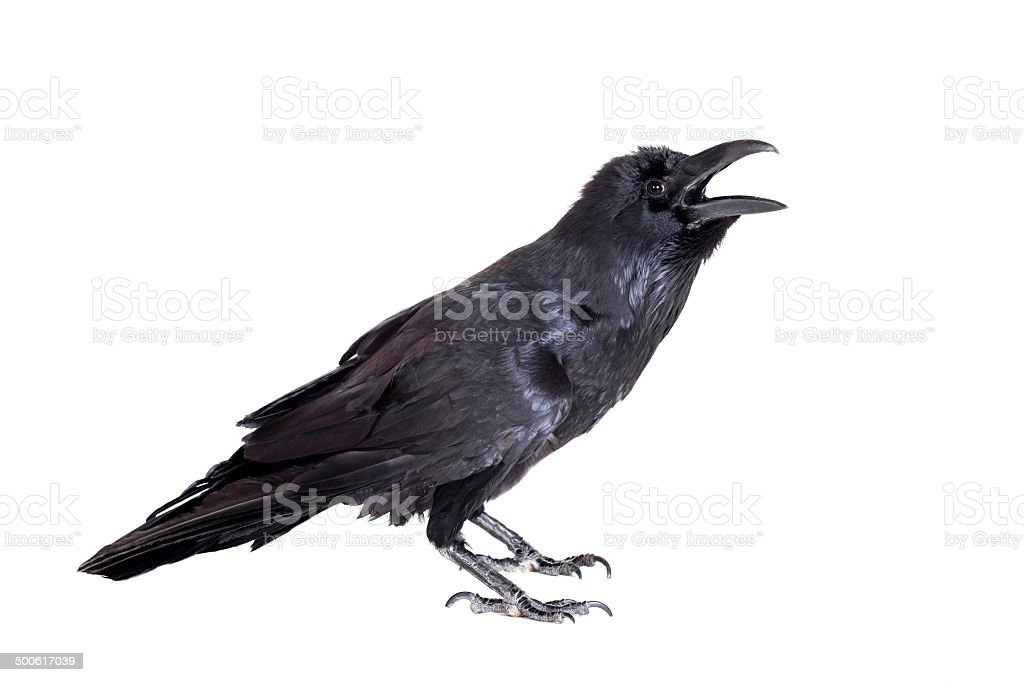 Common Raven isolated on white stock photo