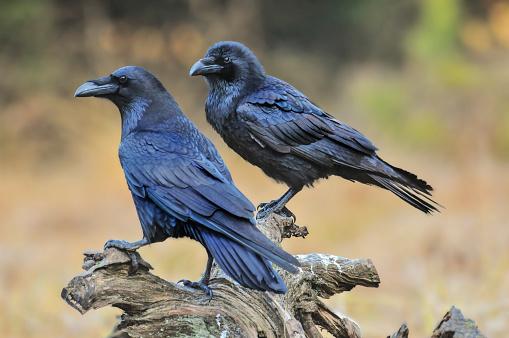 Common raven on old stump.  Corvus corax