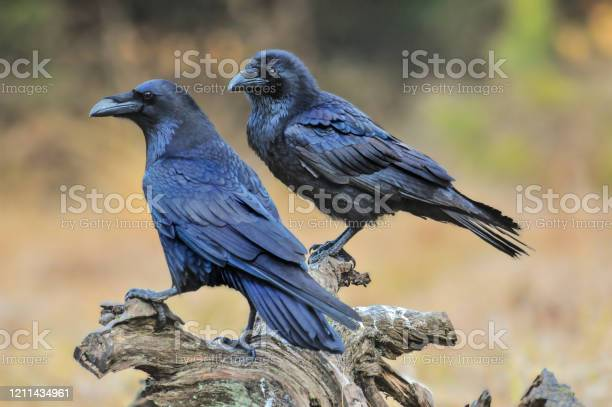 Photo of Common raven on old stump.